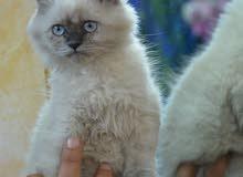 قطه هملاي عمر خمسن يوم لعوبه تقضي حاجتها بلمكان المخصص لها