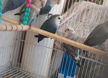 لبيع الطيور الحب والروز ومستلزماتها