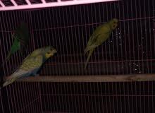 بادجي او طيور الحب