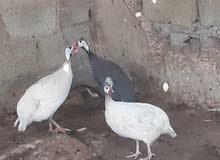 دجاج فرعونی