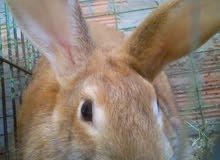 انثي ارنب