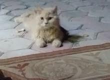للبيع انثى قطه ٱليفه