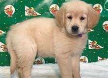 Urgent Golden retriever puppies for sale to good homes now
