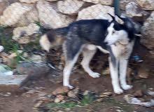 كلب هاسكي ذكر  عيون كريستال