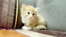 بسة شيرازي 4 قطط 3 أبيض و 1 ذاهبي