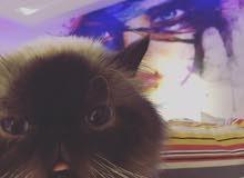 تزاوج تلقيح قطط