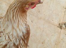للبيع زوج ديك و دجاجه