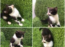 قطه شيرازيه