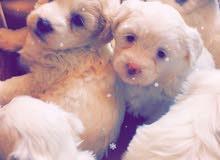 كلاب تيرير للبيع العمر شهرين السعر 200الف الواحد وبي مجال
