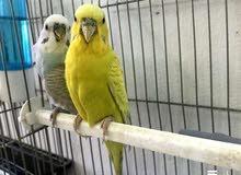 جوز طيور حب بادجي حنونات مع بعض الانثى اليفه 70٪