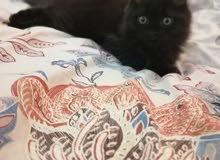 قطه شيرازيه للبيع انثى