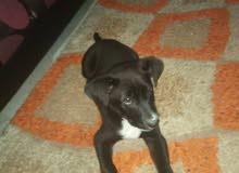 pitbull noir