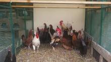 دجاج عماني محلي منتج