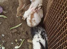 أرانب عمانيه للبيع 3 كبار  و5 متوسطه