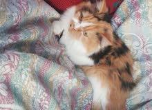 قطه شيرازي بيور.. نوع شانشيلا الماني... العمر 8شهور انثى ا