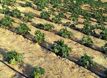ارض للبيع  20 فدان في طامية