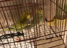 عصافير بقلينو