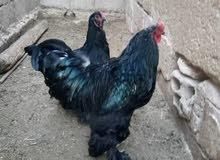 دجاج براهمي نخب نخب ديك وجاجه