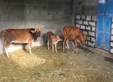 بيع أبقار