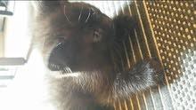 قطة للبيع من اب شيرازي وام انجورا تركية.. عمرها شهر ونص..