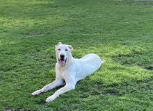 alabai male puppy