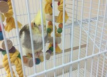 7 month old Baby Cockatiel For Sale
