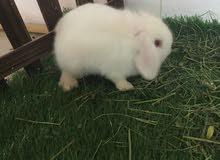 ارانب ميني لوب بيور عمر 3اشهر