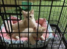 قطتين تركي للبيع
