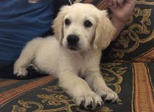 golden retriever puppy pure ma3 passport w daftar vaccin
