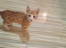 قطه زوشن