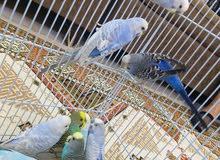 طيور حب ذكور تركيبات رينبو الوان مميزة عدد 10