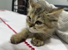 قطط للبيع ب15 دينار