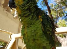 blue fronted amazon jacowa for sale