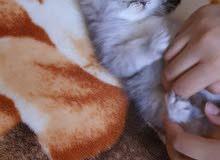 Fullfy beautiful grey Persian chinchilla male kitten