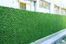 عشب الاسوار الجداري