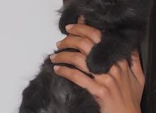 قطة شيرازية سوداء اللون مميزة