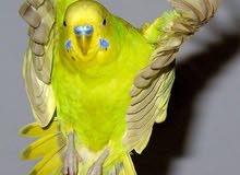 يوجد عصافير للبيع طيور جنه