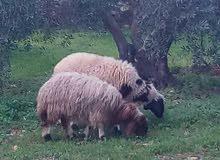 خروف وعابوره للبيع