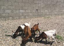 عرض نادر جداً الماعز البقمي البلجيكي (القزم)