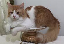 قط أنجورا ذكر للمبادلة بقطة صغيرة