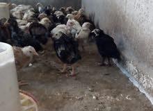 صوص دجاج عمر شهرين ماخذات جميع المطاعيم للبيع
