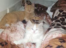 قطة شيرازي عمرها شهرين جميلة جدا لعوبة ومطيعة