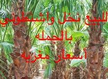 نخيل واشنطوني للبيع بالجمله 50 وما فوق مباشره من مشروعنا في شقرا- الرياض