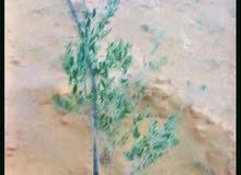 بدر .. جنوب الغطاء النباتي  3 هكتارات بها 40 شجرة زيتون بها ري  بالتنقيط وجابيه