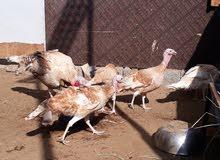 دجاج رومي للبيع  بحالة صحية ممتازة 100%