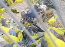 عصافير بقلينوو حوالي 33 جوز