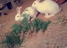 ارانب ملطي انتاي عشاره قريب تجراي