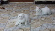 قطط شيرازي على هملايا