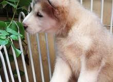 . female husky