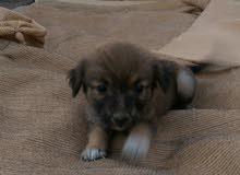 للبيع كلب لولو انثى . يوجد توصيل مسقط لاكن بنول .
